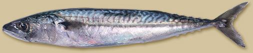 makreel-kop
