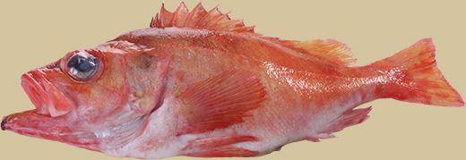 roodbaars-kop