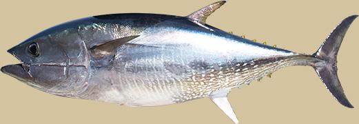 tonijn-kop